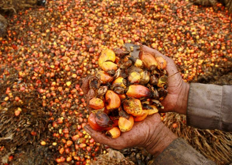 A worker shows palm oil fruits at palm oil plantation in Topoyo village in Mamuju, Indonesia.